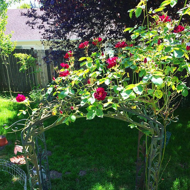 Our trellis rose is really blooming! Fertilizing with eggshells WORKS.