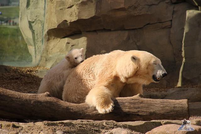 Eisbär Lilli im Zoo Bremerhaven 30.04.2016 Teil 2  156