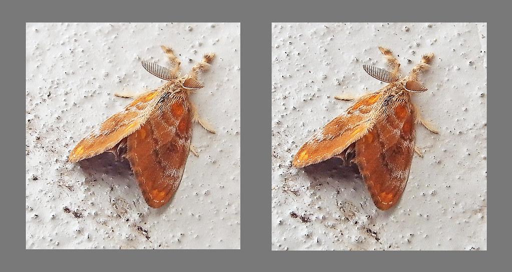 Tussock moth: cross view 3D