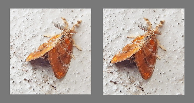 Tussock moth: cross view 3D