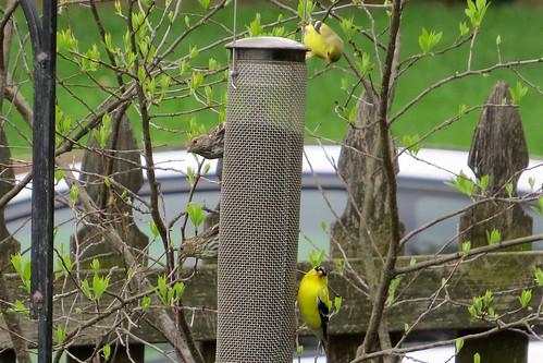 bird backyard feeder spinustristis spinuspinus