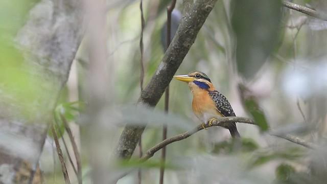 rufous collared Kingfisher calling