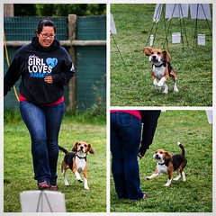 A few shots from the WCR Rally trial with Dylan! He just loves to work and was the only dog to qualify in all 4 Level 2 and 3 courses! What a good little retrieving beagle!