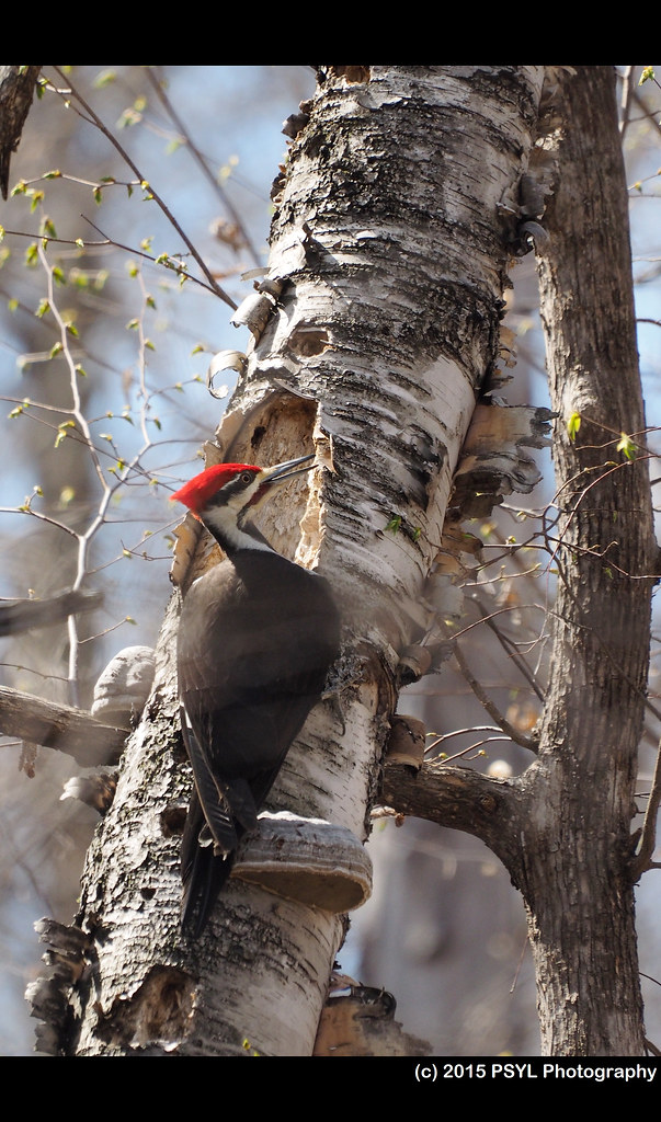 Pileated Woodpecker (Hylatomus pileatus)