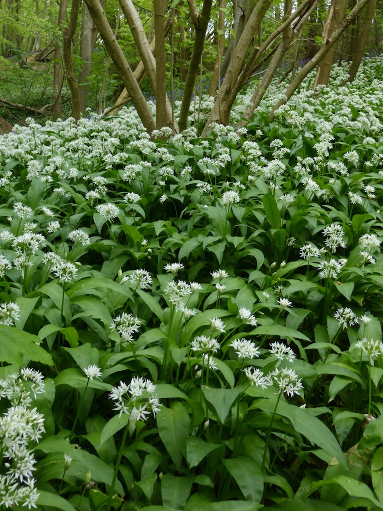Wild garlic wood near Tenterden Tenterden to Rye walk