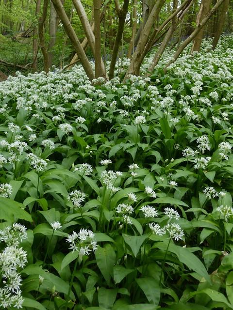 Wild garlic wood near Tenterden