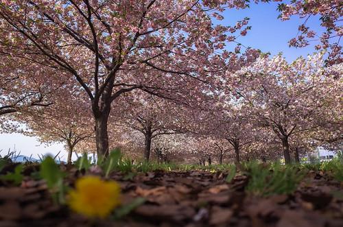 桜の花、舞い上がる道を 2015 番外編