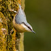 Nuthatch on a moss covered farm wall by Brent Hardy