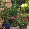 Peas and tacky pink yard flamingos go together like peas and carrots. Except I can't seem to grow carrots so I have tacky pink yard flamingos instead. #garden #oklamingos #snappeas