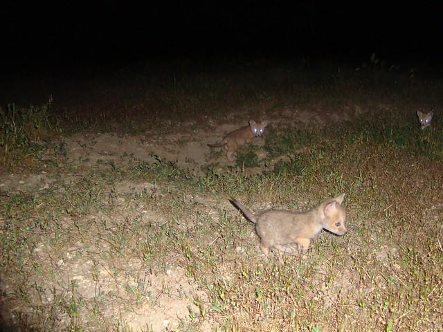 san joaquin kit foxes