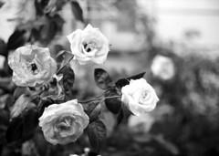 white roses stories