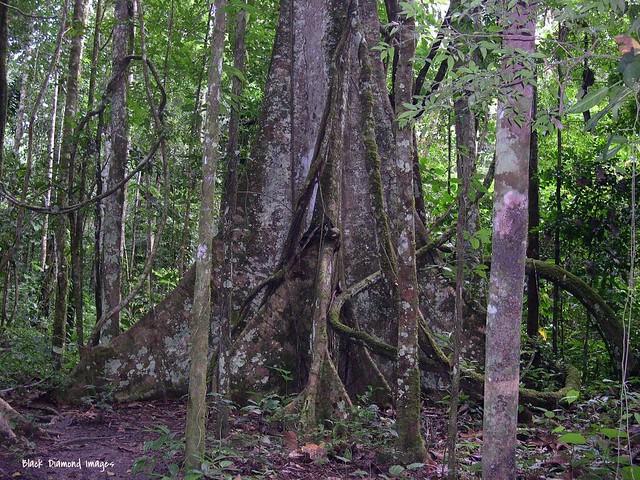 Massive Buttressed Tree - Probably Ceiba petandra - Sumaúma, Lake Sachavacayoc, Tambopata Nature Reserve, Puerto Maldonardo, Madre de Dios Province, Peru