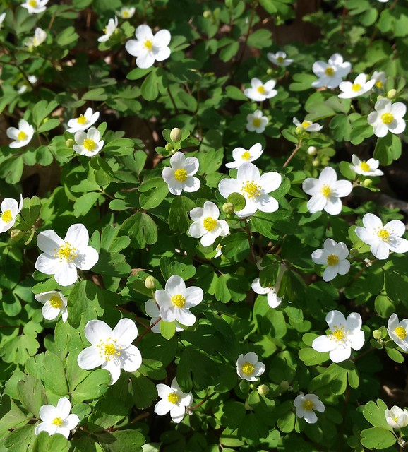 a large patch of false rue anemone in the sunshine