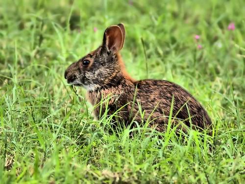 Marsh Rabbit HDR 20150602