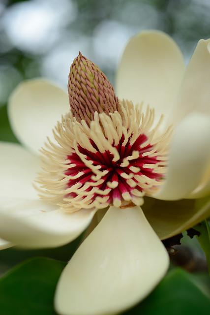 ホウノキ [Magnolia obovata]...