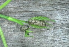 Pyrrhalta viburni, viburnum leaf beetle (VLB), 3rd instar larva, feeding on Viburnum dentatum, arrowwood, from my backyard, May 2015