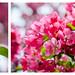 Fleurs de Pommetiers by Joanne Levesque