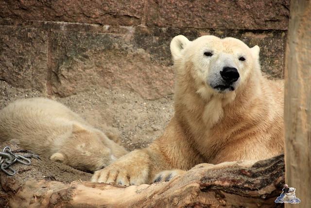 Eisbär Fiete im Zoo Rostock 04.05.2015 342