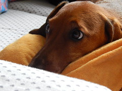 animal sports(0.0), hound(0.0), puppy(0.0), rhodesian ridgeback(0.0), nose(1.0), animal(1.0), dog(1.0), brown(1.0), pet(1.0), mammal(1.0), close-up(1.0), vizsla(1.0),