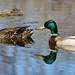 Canard colvert ♀ & ♂ / Mallard