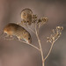 Harvest Mice by The-Hawk
