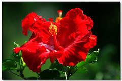 扶桑(Hibiscus)