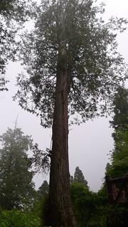 紅檜,圖片攝影:王升陽。