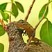 Baby gecko - Salamanquesa (Tarentola mauritanica)