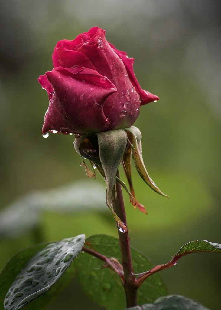 rose (5 foto - serie)