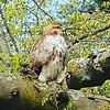 Preening red-tailed hawk.