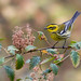 Townsend's Warbler by thomasbarbin