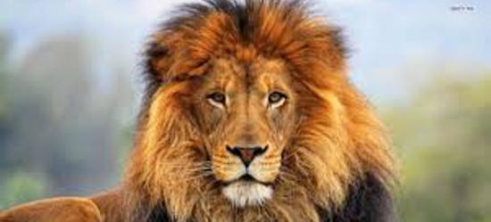 Lion Photo 0515