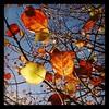 Autumn leaves, summer sky. #autumn #hamilton