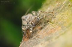 Flathead mayfly nymphs (Ephemeroptera, Heptageniidae)