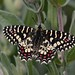 Spanish Festoon Butterfly Extremadura tagged