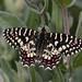 Spanish Festoon Butterfly Extremadura tagged