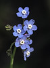 Pacific Hound's Tongue (Cynoglossum grande) by Ron Wolf