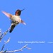 WBY1693-21 7D2-100 Rufous Hummingbird has landed by wbyoungphotos