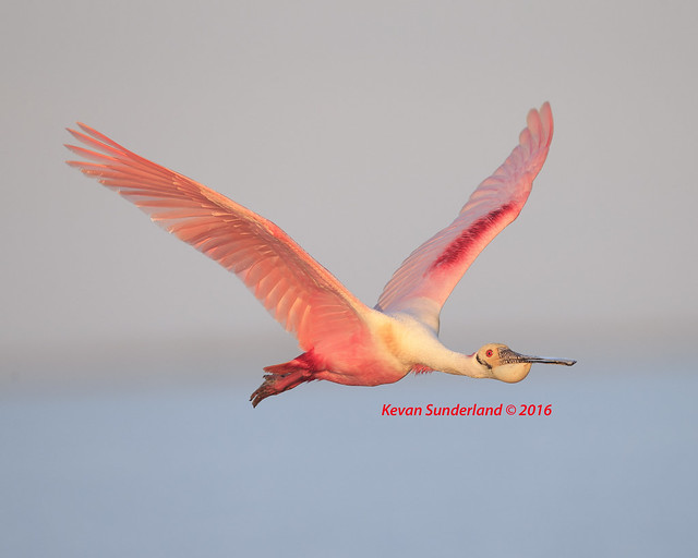 Roseate Spoonbill At First Light Texas