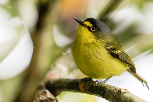 Yellow-lored Tody-Flycatcher