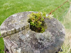 Rowan tree germinated in fence post