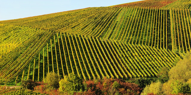 Lines in Vineyards