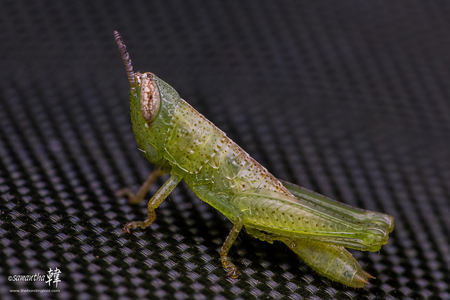 Pulau Ubin Grasshopper-5268-
