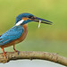 Kingfisher With Catch... by karthik Nature photography