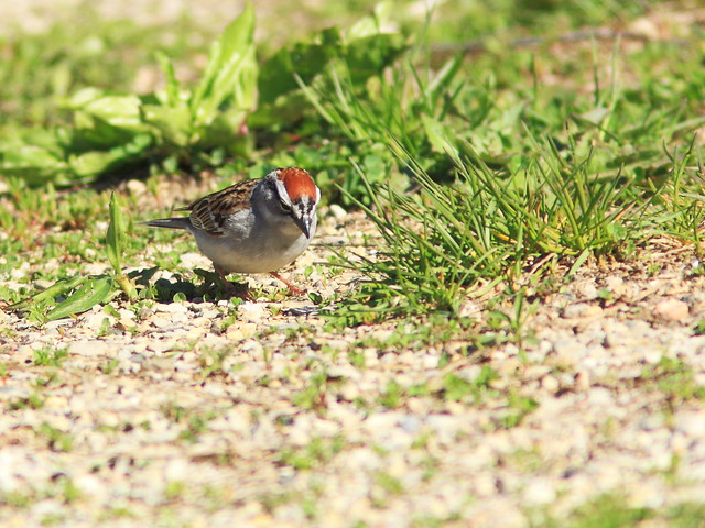 Chipping Sparrow 2-20150501