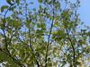 Fancy oak