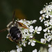 Small photo of Bee on Aegopodium podagraria