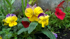 pansy(1.0), annual plant(1.0), flower(1.0), garden(1.0), yellow(1.0), plant(1.0), wildflower(1.0), flora(1.0), petal(1.0),