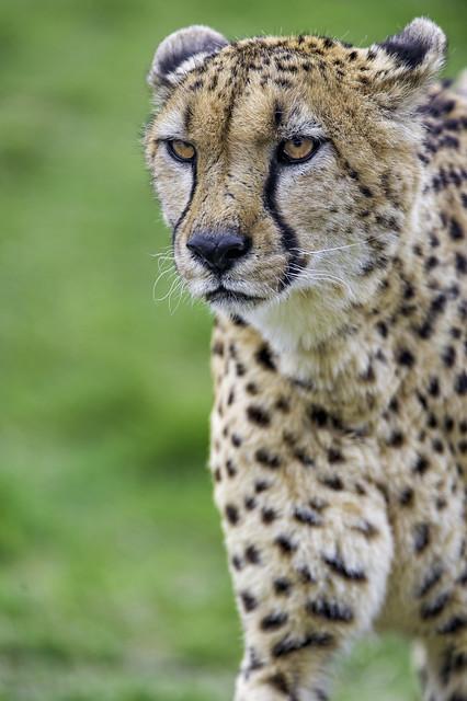 Closeup of a cheetah walking