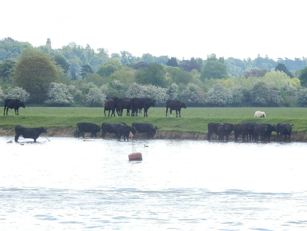 Paddling Cows Marlow Circular